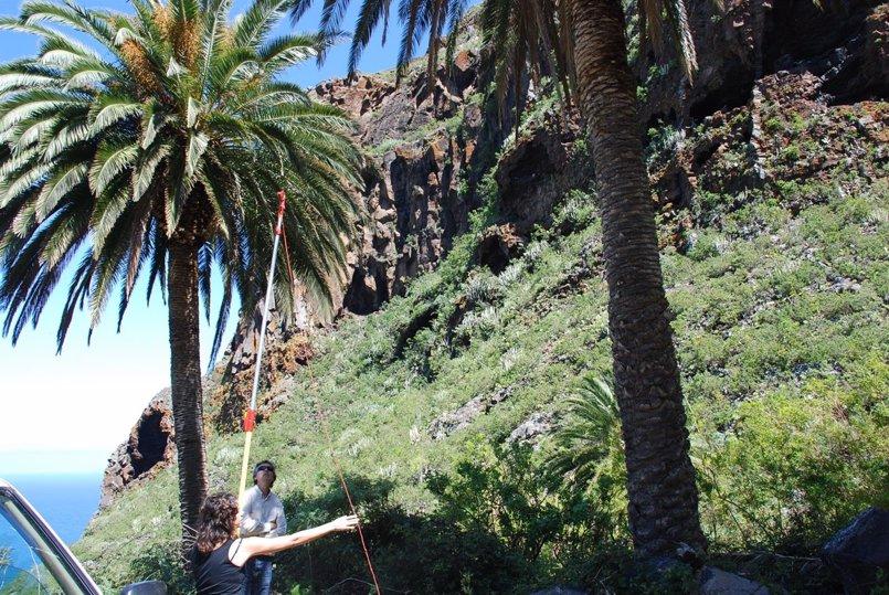 El Cabildo de Tenerife impulsa un proyecto para catalogar y conservar las palmeras de la isla