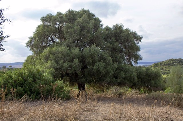 Constatan que el olivo silvestre o acebuche prefiere el polen lejano