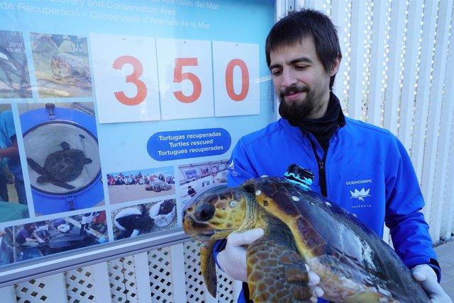 Cuatro tortugas procedentes de Vinaròs y Peñíscola se recuperan en Oceanogràfic