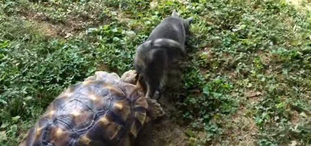 Tortuga persiguiendo a un gato en un jardín