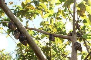 Hallan un caracol gigante africano en Artemisa, Cuba