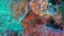 Puesta de calamar y algas rojas calcáreas con maërl al fondo