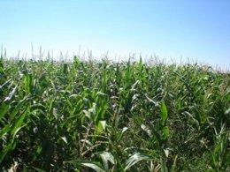 Cultivo de maíz.
