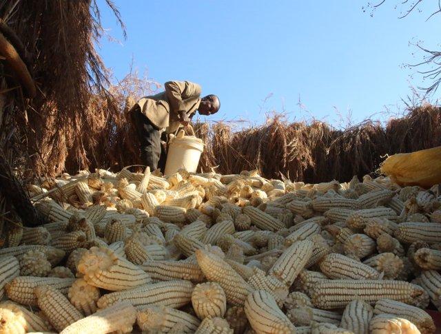 Cosechas de maíz en África (ARCHIVO)