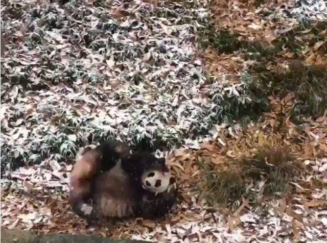 Oso panda rueda en el Smitsonian National Zoo de Washington