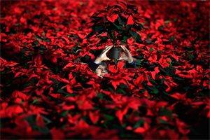 ¿Conoces qué otros nombres recibe la Flor de Navidad?