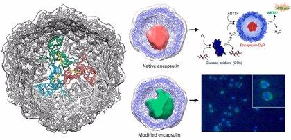Investigadores del CSIC descubren que las cápsulas bacterianas pueden ser útiles agentes terapéuticos o bionsensores