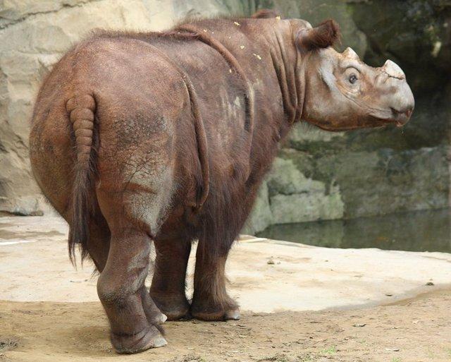 Ejemplar del zoo de Cincinatti