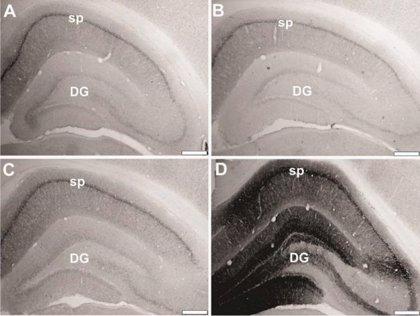 Restauran genes envejecidos en ratas