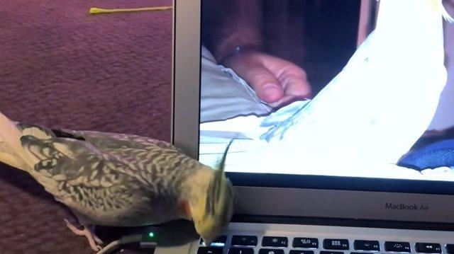 A este cockatiel no le gustó nada que su vídeo se hiciera viral