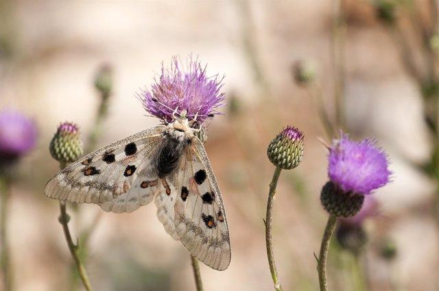 Mariposa de la especia Parnassius apollo ssp