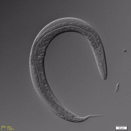 La restricción dietética influye en la longevidad de los gusanos hermafroditas