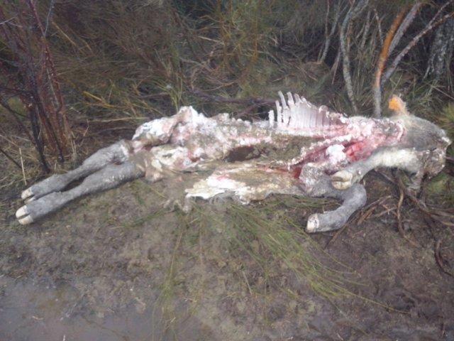 Becerro matado por lobos