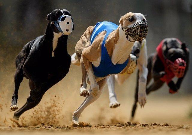 Carrera de perros