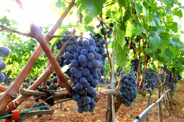 Uva, vino, viticultura