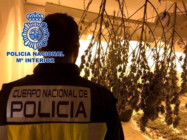 """Nota De Prensa Policial: """"Desmantelada Plantación De Marihuana Cultivada En Un G"""