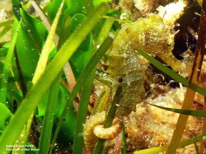 El caballito de mar podría terminar desapareciendo del Mar Menor