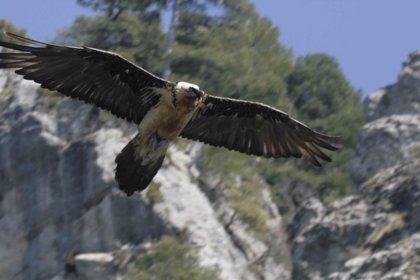 La Junta libera 49 quebrantahuesos desde 2006 con el plan de reintroducción de la especie en Andalucía