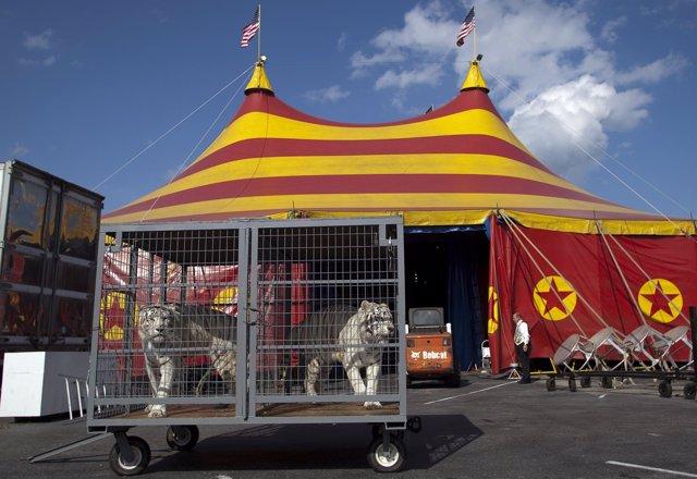 Tigres de Bengala en un circo