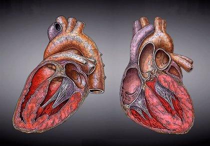Nuevo método para crear células madre arroja luz sobre un signo revelador de enfermedad cardiaca