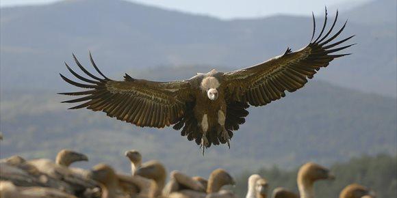 5. Un pastor investigado por envenenar a 15 buitres leonados en Sierra de Zafarraya (Granada)