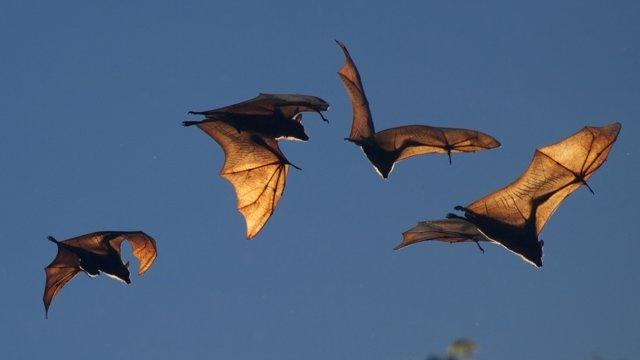 Murciélagos en vuelo