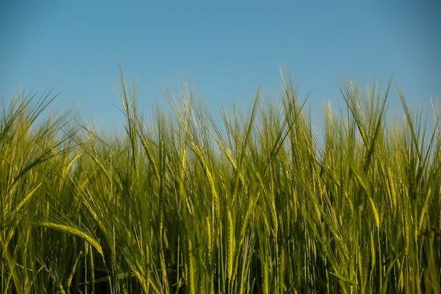 Cereals, camp, cultiu