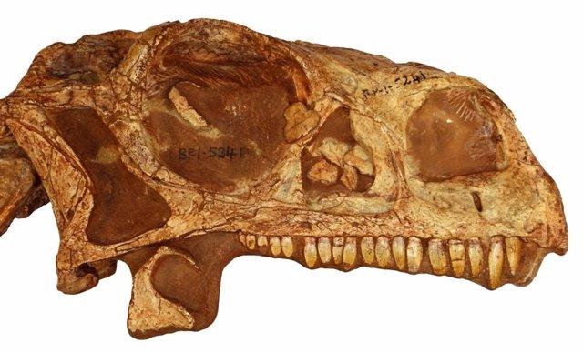 Vista de perfil de Massospondylus skull