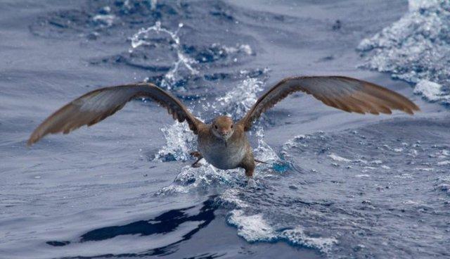 Baldriga balear, espècie endèmica i amenaçada mundialment