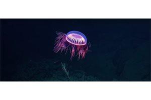 Encuentran una medusa 'extraterrestre' en aguas mexicanas