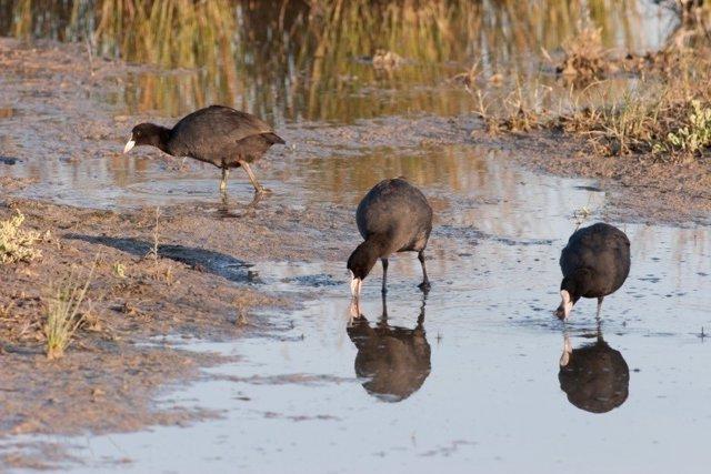 Más de un centenar de ornitólogos participan en el censo de aves acuáticas de Baleares