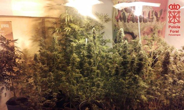 Plantación de marihuana intervenida por la Policía Foral.