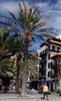 Medio Ambiente crea un 'Mapa de palmeras canarias' con casi 556.000 ejemplares