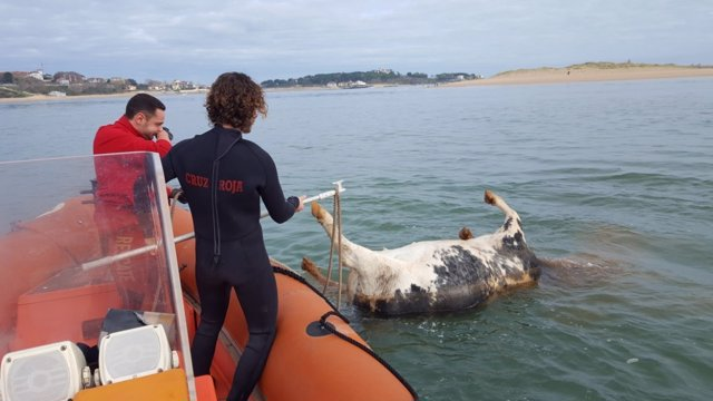 Cruz Roja remolca a tierra el cadáver de una vaca