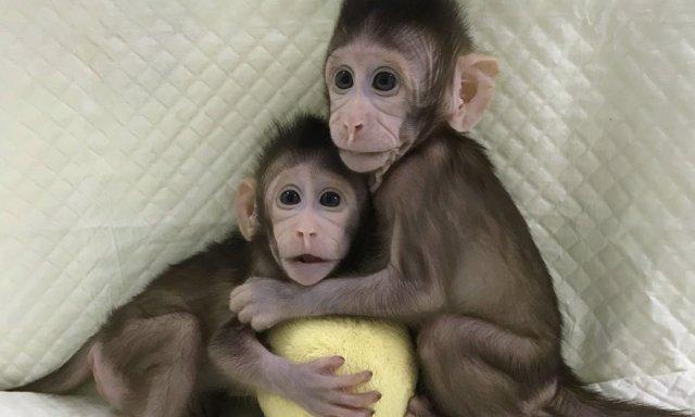 Los monos clonados como Dolly