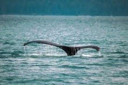 Miles de ballenas grises encuentran un hogar en las aguas de la mexicana Baja California