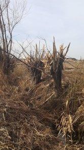 Foto: Denunciado un vecino de Linyola (Lleida) por cortar árboles en una acequia protegida