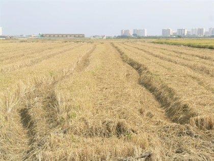 Un proyecto estudia incorporar bacterias en la paja de arroz y convertirla en cobertura rentable para cultivos frutales