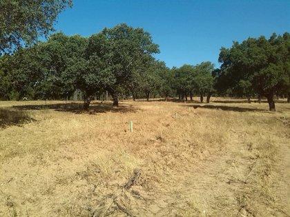 El Ejecutivo regional convoca la regeneración en terrenos adehesados de La Siberia (Badajoz) por 357.000 euros