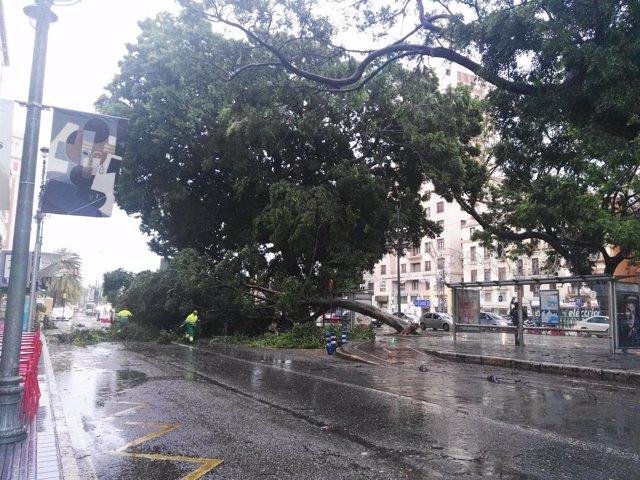 Ficus caído viento ciclogénesis Alameda Principal Málaga capital árbol