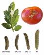 Foto: Logran tomates más resistentes a las plagas
