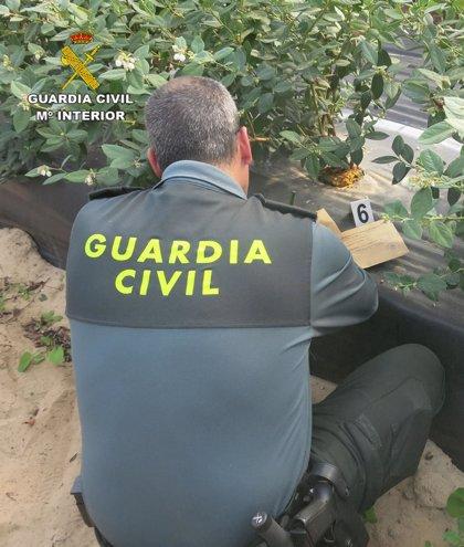 Intervenidas 123.000 plantas de arándanos valoradas en más de un millón en varias fincas de Huelva