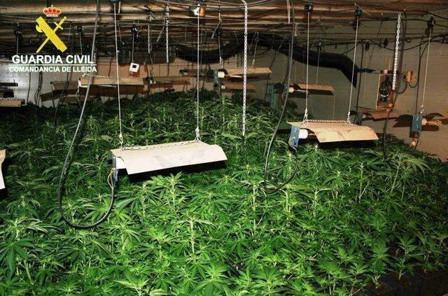 Plantación de marihuana localizada en Torà (Lleida)