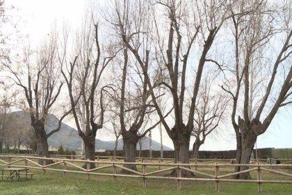Cabeza del Buey busca a través de un video el apoyo de los 'eurofans' a los 'Olmos Centenarios' como 'Árbol Europeo'