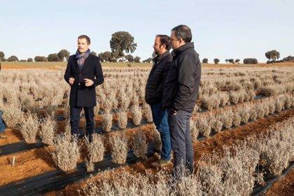 La plantación de guayale de Santa Cruz de la Zarza es el mayor campo de experimentación de Europa
