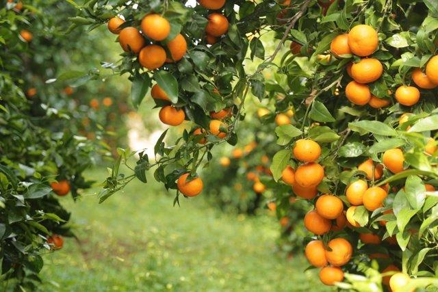 Mandarina de la variedad Orri producida en Huelva.