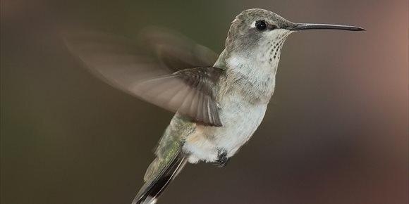 10. La evolución y la habilidad explican el vuelo único del colibrí