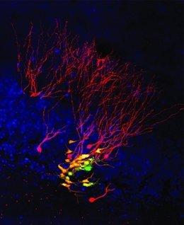 Célula madre neural individual (verde) y sus neuronas hijas