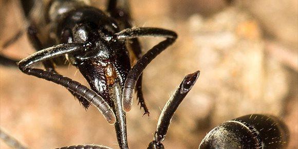 3. VÍDEO Hormigas tratan las heridas de guerra de sus soldados