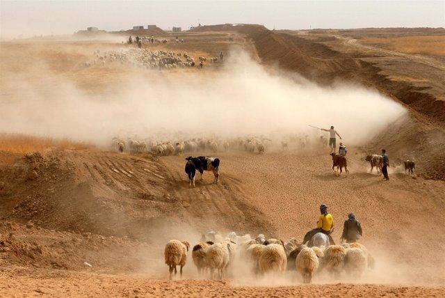Desplazados por la ofensiva en Mosul con su ganado